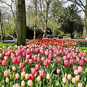 Bold and bright swathes of tulips at the Keukenhof in Holland.