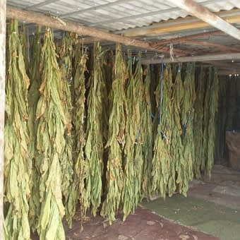 Dokha tobacco hanging to dry in Dubai Arabic tobacco farm