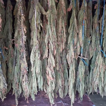 Enjoy Dokha tobacco hanging to dry in Dubai Arabic tobacco farm