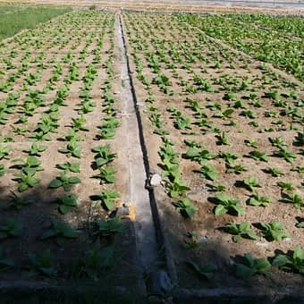 2 Enjoy Dokha tobacco fields in Dubai Arabic tobacco farm